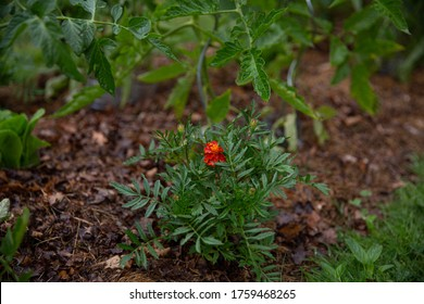 Growing marigold (tagetes) near tomatoes. Natural repellent. Companion gardening. Permaculture