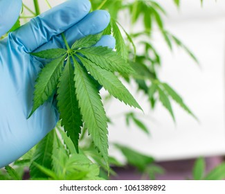 Growing marijuana. Leaves of marijuana in the hand.