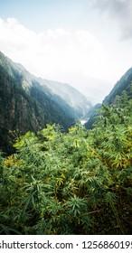 Growing up Marijuana in mountains. Manali, India, Himalaya