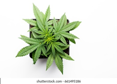 Growing marijuana in the pot, cannabis plants