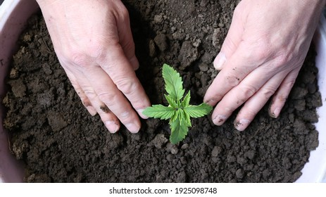 growing marijuana from scratch at home, planting a small cannabis sprout in a container with soil and tamping it with your hands
