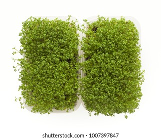 Growing micro greens isolated on white background. Healthy eating, fresh organic produce and restaurant decoration concept. Alfalfa tender sprouts in plastic bowls, copy space