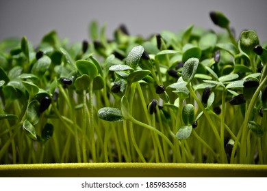 growing micro greens, micro greens on plate, micro greens in hand