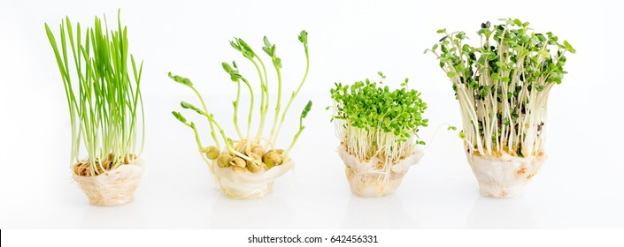 Growing microgreens on white background with free space for text. Healthy eating concept of fresh garden produce organically grown as a symbol of health.
