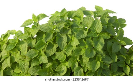 Growing mint leaves isolated on white