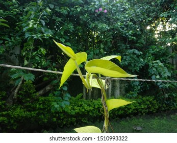 Growing money plant in the garden at omkareshwar.