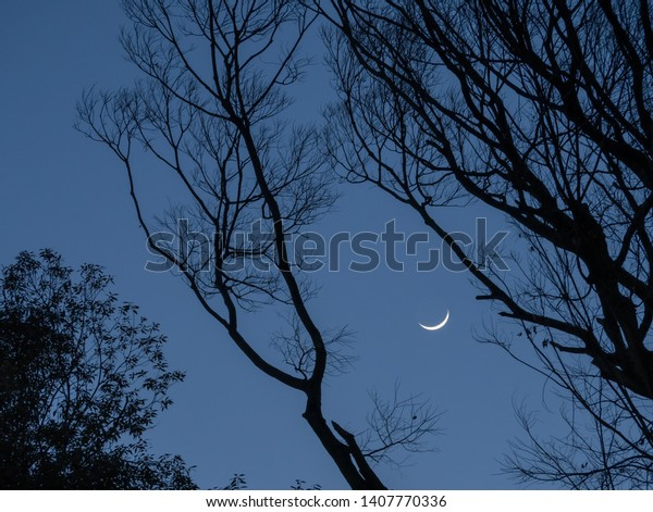 Growing moon hiding behind the tree branches in the late evening