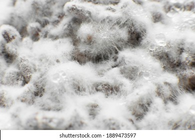 Growing mushrooms. Mushroom hypha threads. Cultivating organic vegan food. Mushroom mycelium close up. Grain mycelium. Mycelium texture.