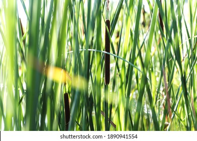 Growing near lake wild Typha as bulrush or reedmace, reed, cattail,or punks, cumbungi or bulrush, cattail, raupo to make medicine for traditional medicine.
