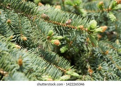 A growing needles on pine tree.