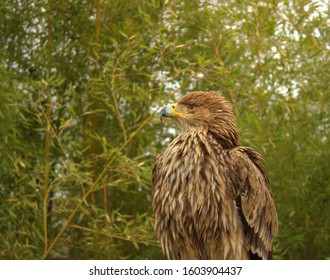 The growing nestling steppe eagle looks into the distance. Side view
