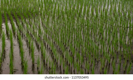 Growing new rice in the farm