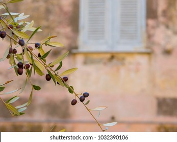 Growing olives in cityscape of Moneglia village in Liguria, Italy