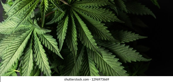 growing organic cannabis herb on the farm, close up of cannabis leaf