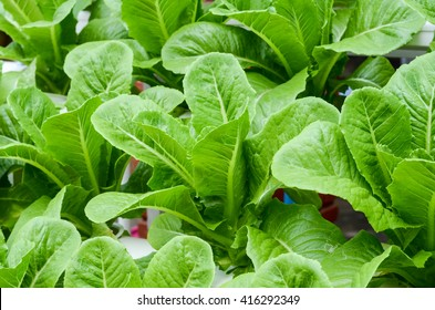 Growing organic vegetables.Organic vegetable farms for Background.