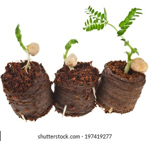 Growing peas seedlings in peat  tablet pot isolated on white background