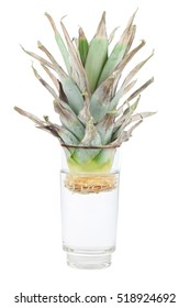 Growing pineapple at home. Rooting in a glass of water.