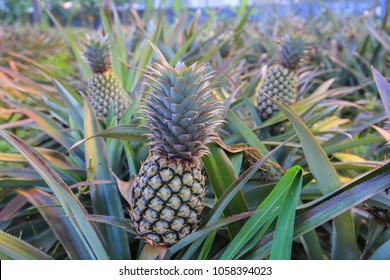 Growing pineapples on plantations
