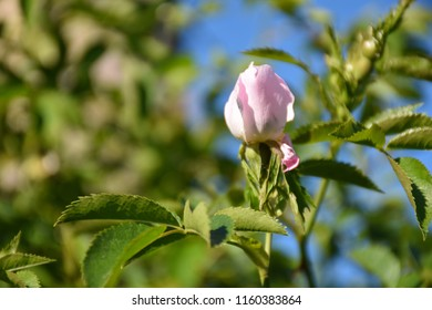 Growing pink wildrose bud on a twig