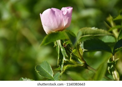 Growing pink wildrose flower head on a twig in a dogrose shrub