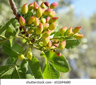 Growing pistachios on the branch of pistachio tree. Spring, May. Horizontal. Close-up.