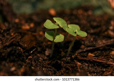 growing plant with cotyledons
