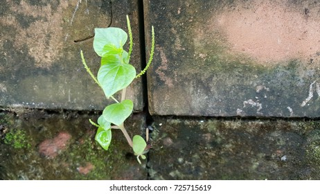 Growing Plant on old brick wall