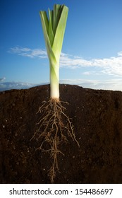 Growing plant over sky panorama. Close up of fresh leek growing with underground roots visible. Clean eating concept. Healthy eating