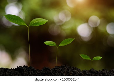 growing plant step with sunrise. concept agriculture in garden. morning light