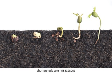 Growing plants, Bean seed germination different stages with underground root visible