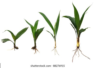 Growing plants (crude palm oil) isolated against white background.