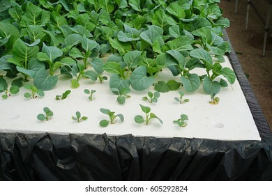 growing plants in hydroponic system, illustrating the floating plant supported material