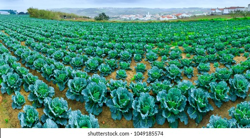 Growing plants of Savoy Cabbage in a rows red soil on a farmland. Concept farming, food production. Springtime landscape in western part Portugal, Casal Novo, Lourinha.