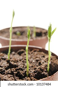 growing plants from seeds (sweet pea flowers)