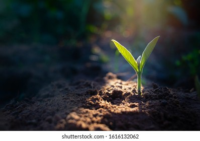 Growing plant,Young plant in the morning light on ground background, New life concept.Small plants on the ground in spring.fresh,seed,Photo fresh and Agriculture concept idea.