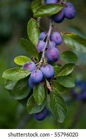 Growing plums