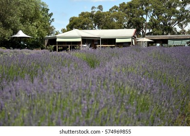 Growing purple lavender flower In a field. Field of mauve purple Lavandula angustifolia most commonly True or English Lavender garden. Lamiaceae.