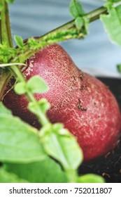 Growing radish on soil