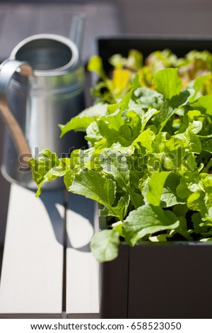 kitchen garden in balcony Growing Radish Salad Container On Balcony Stock Photo Edit