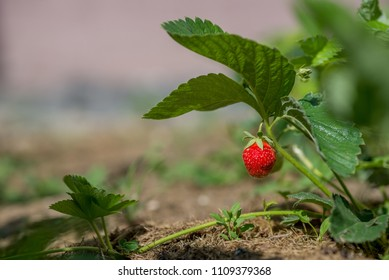 Growing red strawberry and vivid green leaf