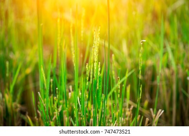 Growing rice in  the field with morning light with space for text