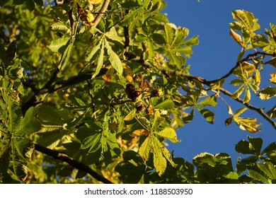 Growing, ripe chestnuts on a tree in the begining of autumn in September