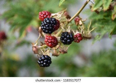 Growing ripe and unripe colorful blackberries closeup