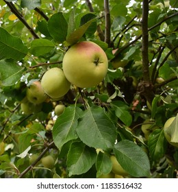 Growing ripe yellow and red apples in an apple tree