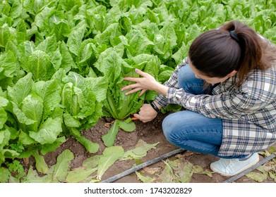 Growing romaine lettuce on an organic farm in a greenhouse. Woman harvesting romaine lettuce
