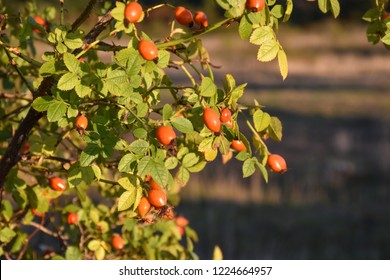 Growing rose hip berries on a sunlit shrub