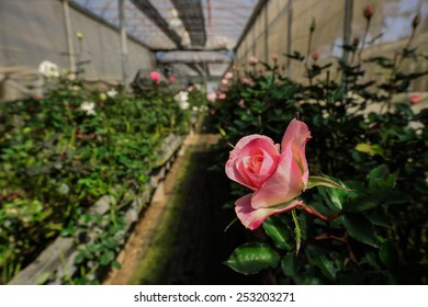 Growing roses in greenhouses.