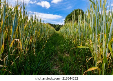 Growing rye field, Agricultural Background