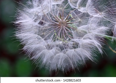 The growing  salsify close up. Asteraceae Family. Tragopogon