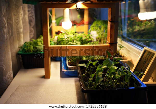Growing seedlings cabbage, tomatoes, mint, other plants in plastic containers on windowsill near window under artificial lighting LED lamp solar spectrum, with temperature, humidity control in house